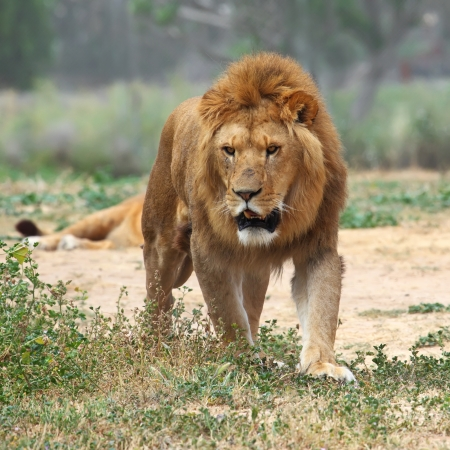 wildlife reserve: Close Up picture of a male lion on the grass