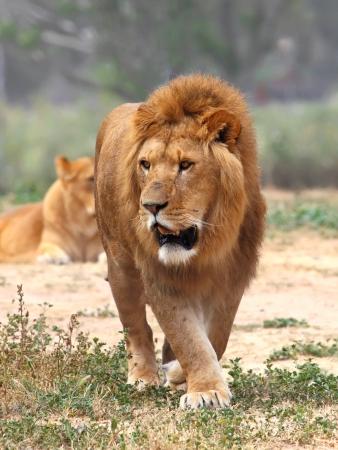 Feche acima do retrato de um le�o masculino na grama