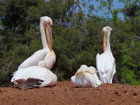 endothermic: White pelicans Stock Photo