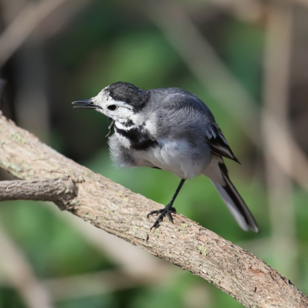 motacillidae: White Wagtail Motacilla alba sitting on a dry branch