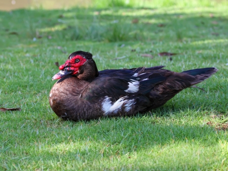 Muscovy Duck on the green grass photo