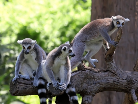 funny image of three ring-tailed lemurs