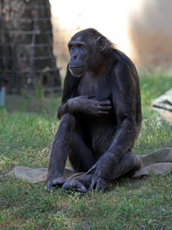 Chimpanzee sitting on a grass in a zoo Stock Photo - 15706905