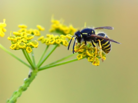 wasp of the garden on a yellow wild flower  Stock Photo