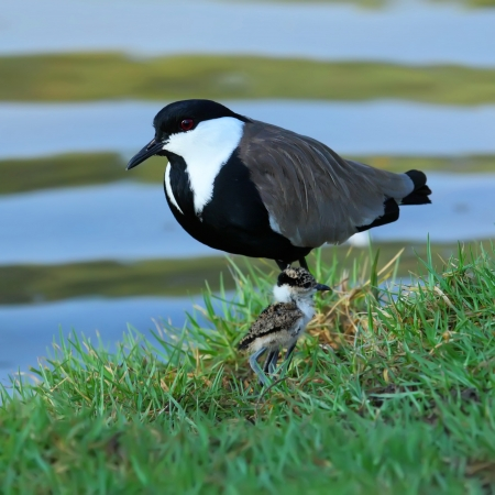 lapwing: Lapwing with nestling   baby bird