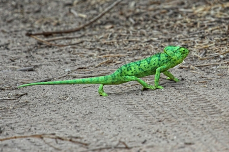 green chameleon crossing the road Stock Photo - 15735853