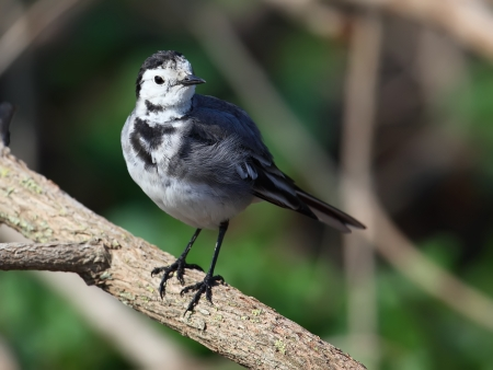 wagtail: White Wagtail Motacilla alba sitting on a dry branch
