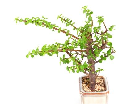 crassula: houseplant money tree crassula isolated on white background