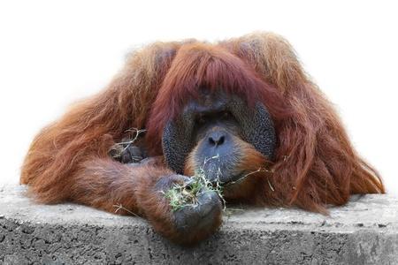 orangutang: Orangutan