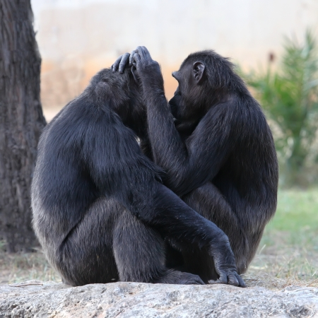 Two chimpanzees holding each other  photo