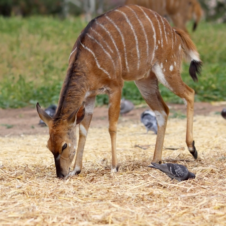 female antelope kudu feeding on the grass  photo