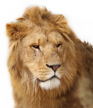 dangerous lion: A closeup portrait of a beautiful African lion of a white background Stock Photo