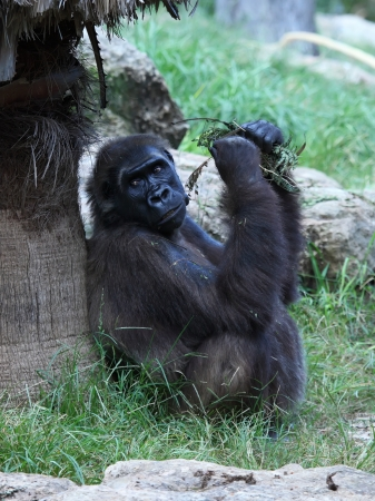 A pregnant female gorilla seating on the grass, eating leaves Stock Photo - 16401187