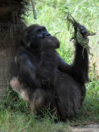 A pregnant female gorilla seating on the grass, eating leaves Stock Photo - 16485998