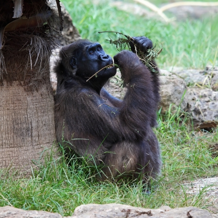 A pregnant female gorilla seating on the grass, eating leaves Stock Photo - 16485996