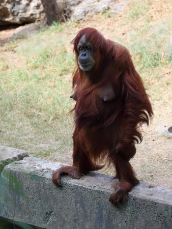 Adult Female Orangutan photo