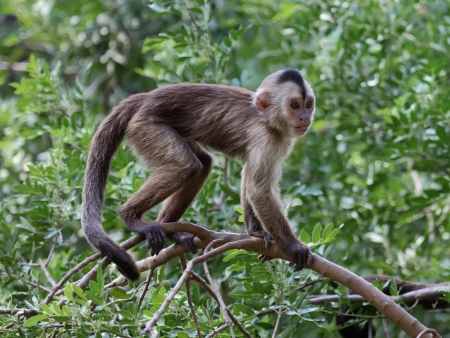 capuchin monkey cub on tree branch  photo