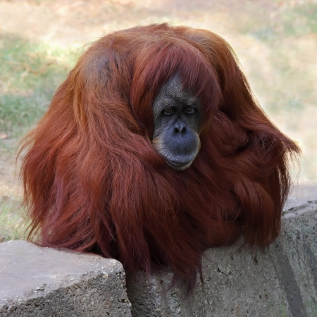 Orangutan in captivity in a zoo,looking in the distance