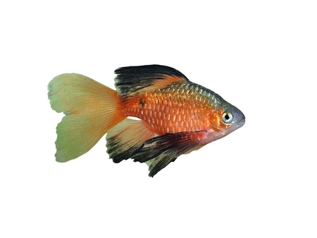 aquarium fish Rosy Barbus conchonius  Puntius conchonius  on a White Background  photo