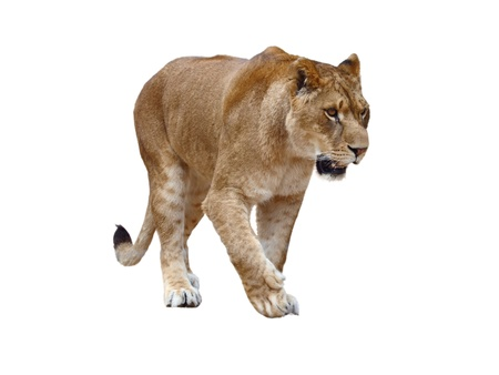 Lioness - isolated on white background photo