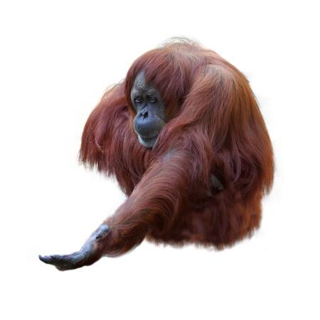 orangutang: Orangutan on white background