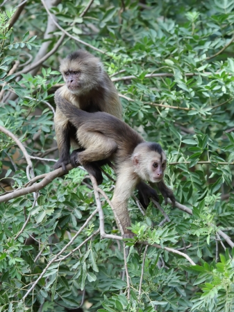 mother capuchin monkey with young sitting on tree branch Stock Photo
