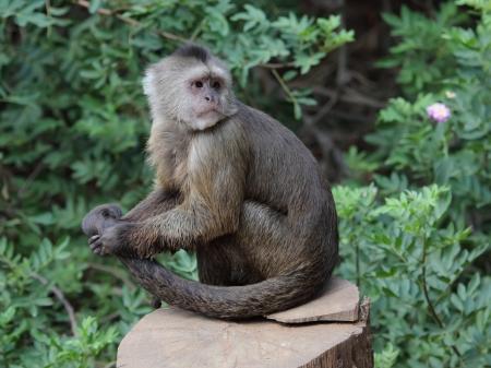 카푸 친 원숭이 스톡 콘텐츠