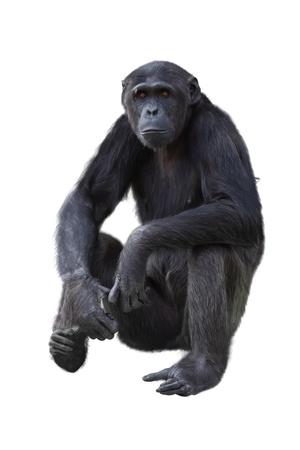 troglodytes: Chimpanzee on a white background  Stock Photo