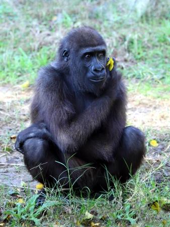close up of a big female gorilla  Stock Photo - 17179325