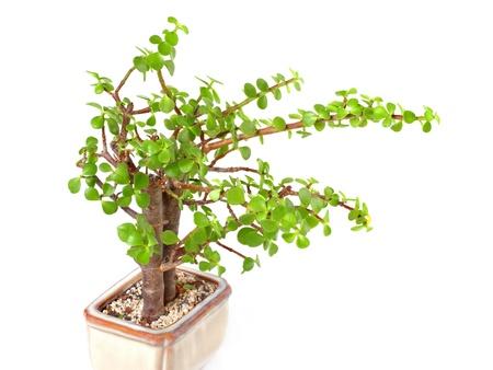 crassula: houseplant money tree crassula isolated on white background Stock Photo