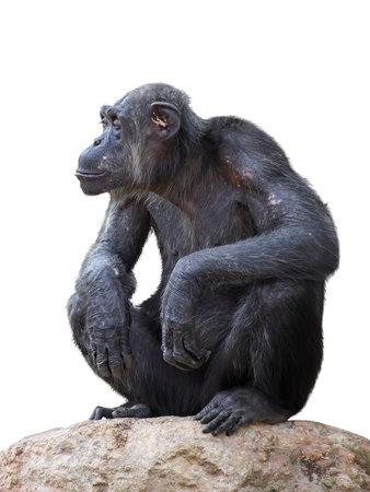 Chimpanzee on a white background Stock Photo - 17318187