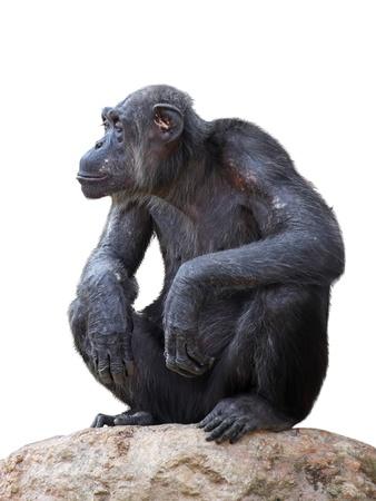Chimpanzee on a white background Stock Photo