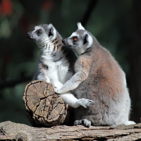 Two ring-tailed lemurs sitting on a log  Stock Photo - 17587443