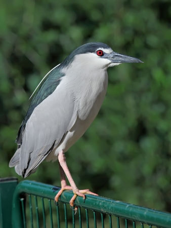 Black-crowned Night Heron (Nycticorax nycticorax) sitting on fence photo