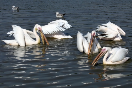 Group of Great White Pelicans in water photo