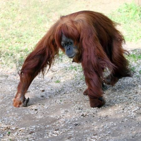 Orangutan female  Stock Photo