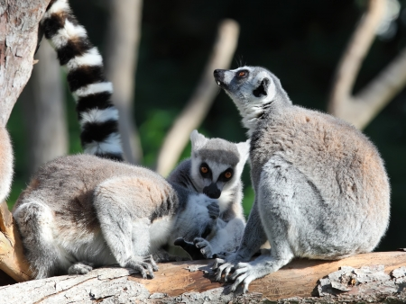 funny image of three ring-tailed lemurs photo