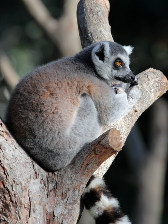 close-up of a ring-tailed lemur  photo