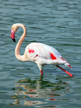 Beautiful  Flamingo on the water photo