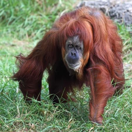 animales del zoo: Orangután en cautiverio en un zoológico Foto de archivo