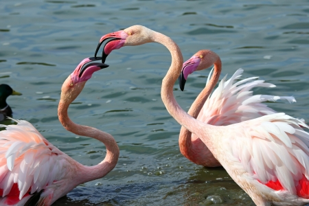 Head and neck image of Three flamingos photo