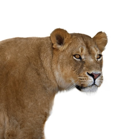 nature reserves of israel: Lioness portrait on white background