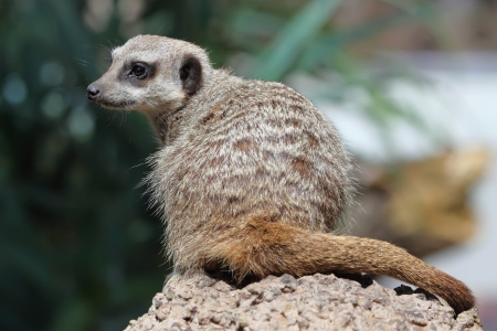 Suricate or Meerkat sitting on the stone  photo