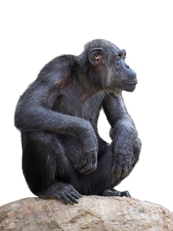Chimpanzee on a white background Stock Photo - 18677378