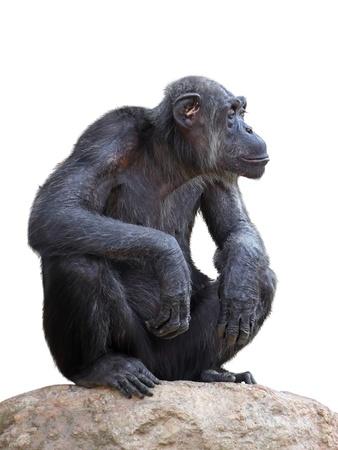Chimpanzee on a white background Stock fotó