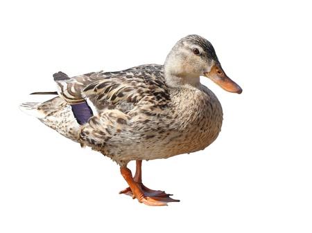 Colourful Female Mallard Duck isolated on white