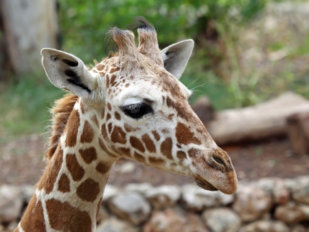 close up of giraffe face  Stock Photo - 18677386