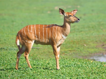 nature reserves of israel:  female antelope kudu on the grass