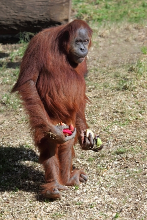 orangutang: A cute adult Orangutan Stock Photo