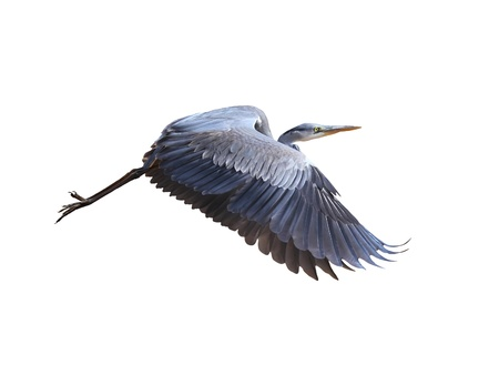 heron: Great Blue Herons (ardea herodias)  in flight, isolated on white